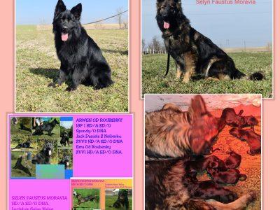 German shepherd Long Coat pups