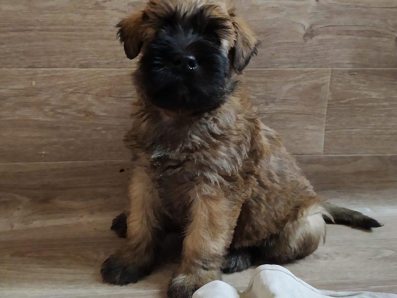 Irish Soft-Coated Weaten Terrier