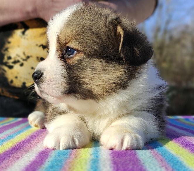 WELSH CORGI (CARDIGAN) Puppies