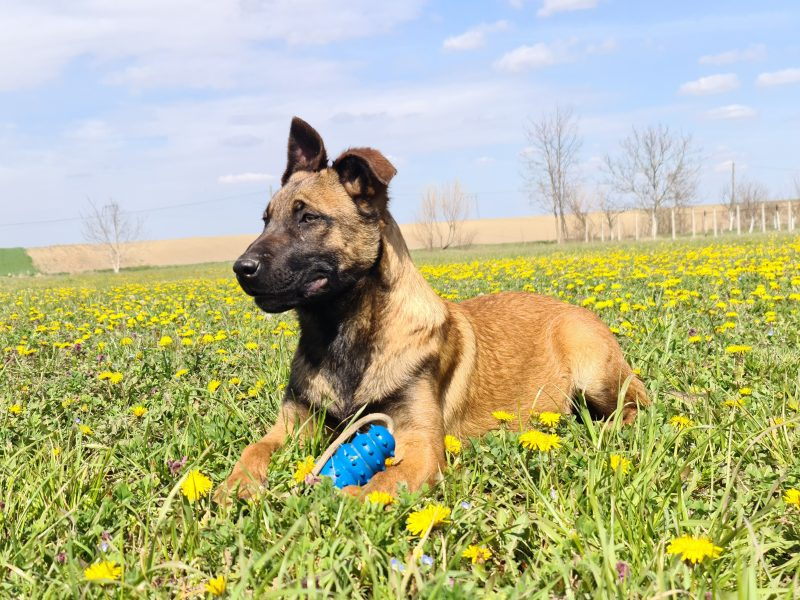 KNPV BELGIAN SHEPHERD DOG
