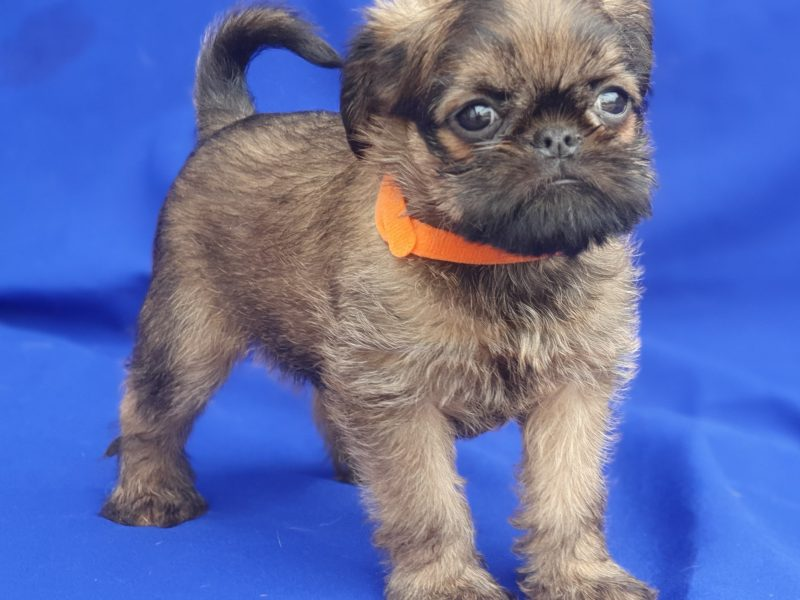 Brussel griffоn males GRIFFON BRUXELLOIS