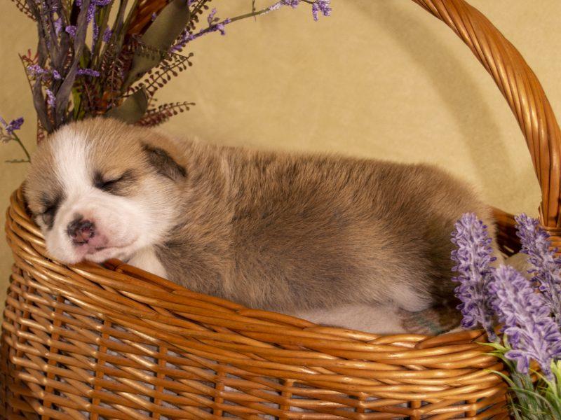 Puppy for sale WELSH CORGI (PEMBROKE)