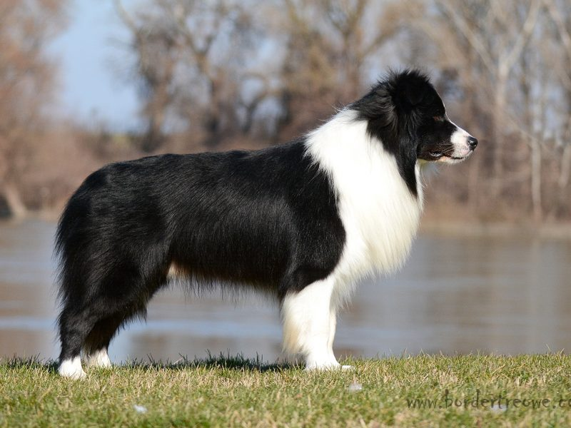 IntCH MultiCH Indiana Jones of Bordertreowe BORDER COLLIE