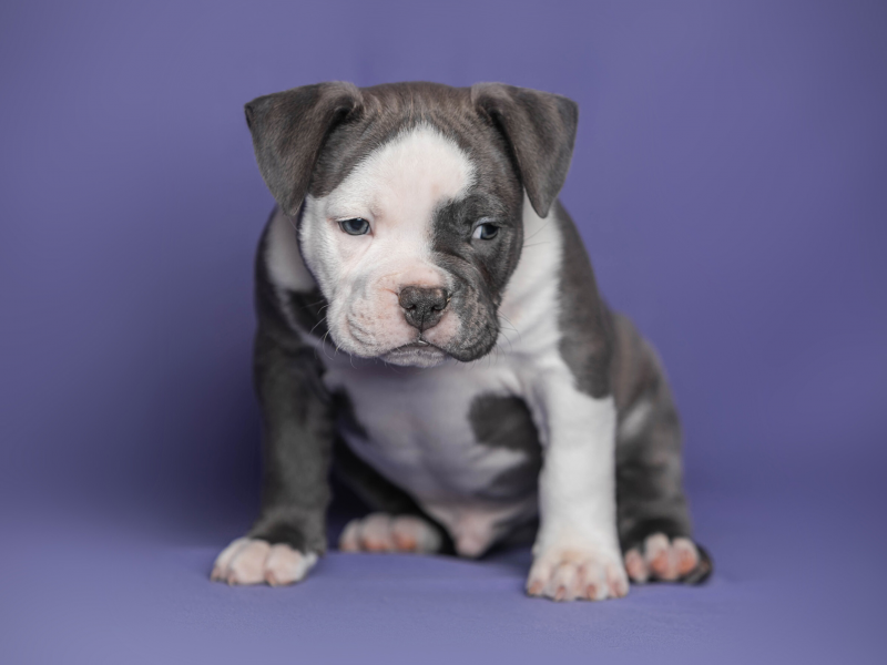Available American bully