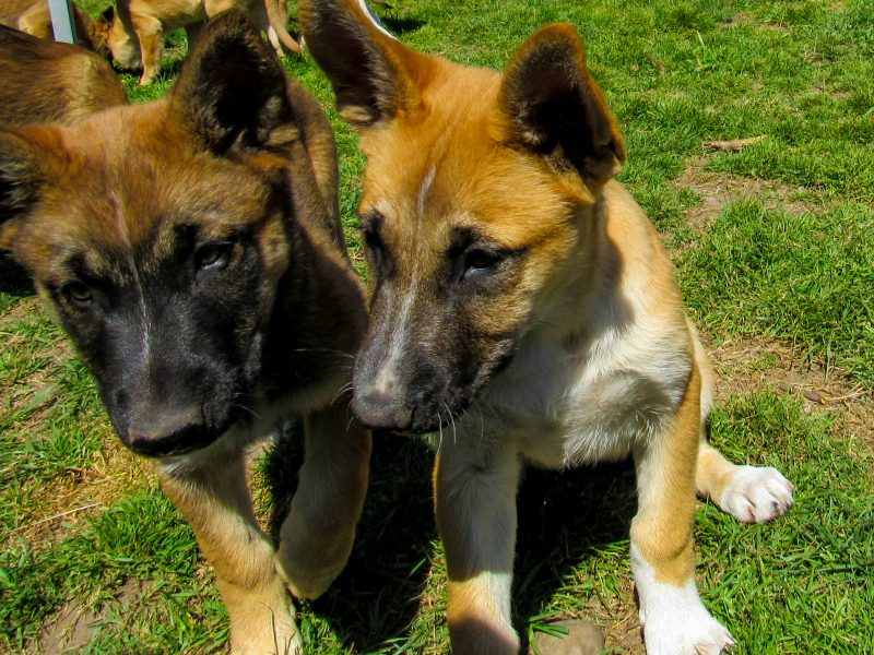 Malinois Puppies- KNVP Parents BELGIAN SHEPHERD DOG