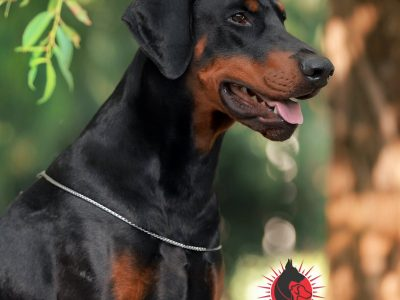 Dobermann Male with documents for sale