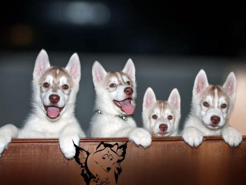 Puppies Siberian Husky