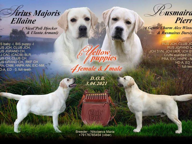 Labrador retriever puppies from Champions