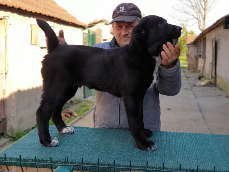 Central Asia Shepherd puppies