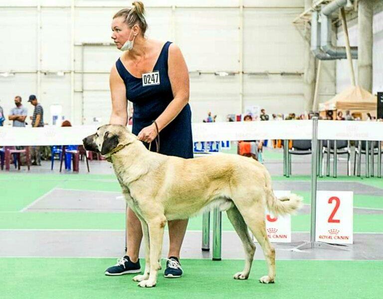 Kangal Shepherd Dog, male for sale