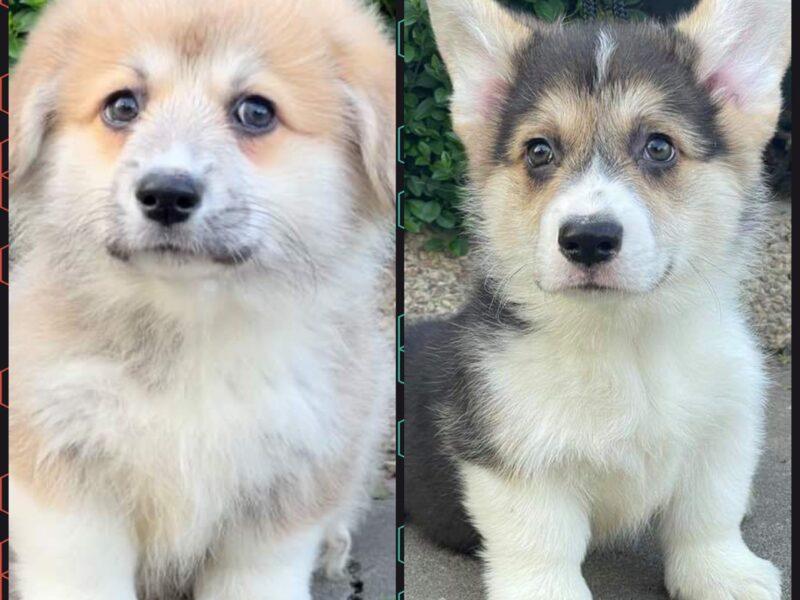 WELSH CORGI (PEMBROKE) Puppies