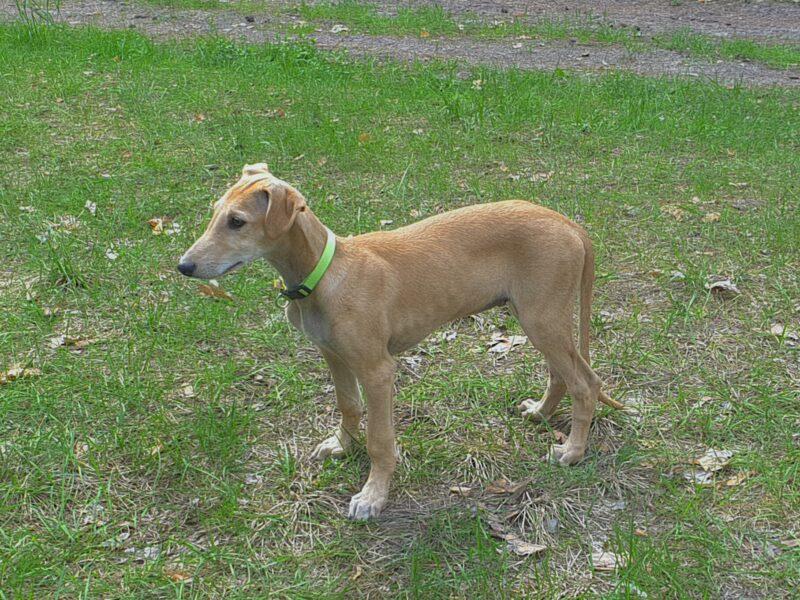 Spanish greyhound - Galgo Espaniol puppy-male for sale