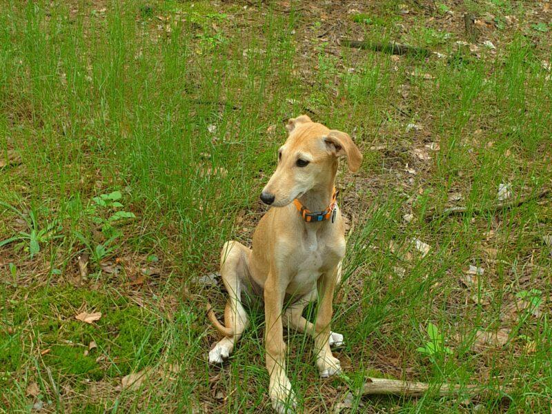 Spanish greyhound - Galgo Espaniol puppy-female for sale