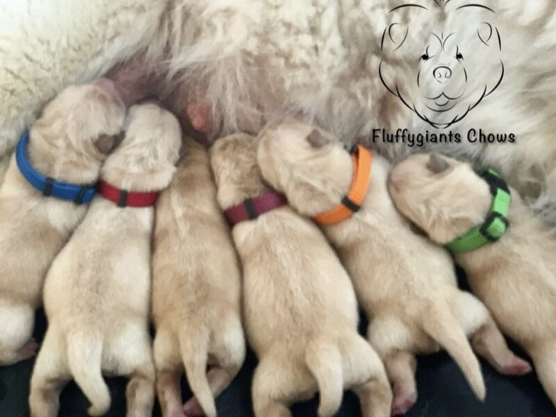 Chow Chow Puppies for sale/reservation