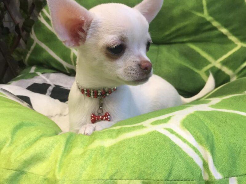 Alina Chihuahua