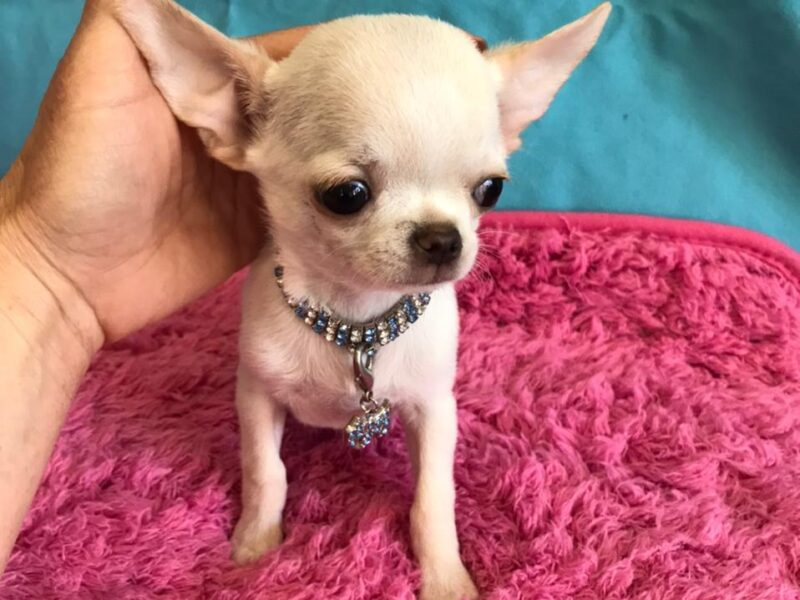 Archi Chihuahua