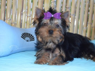 Wonderful Boy Yorkshire Terrier