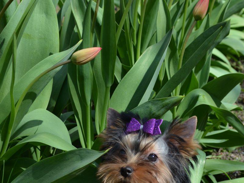 Wonderful Boy Yorkshire Terrier