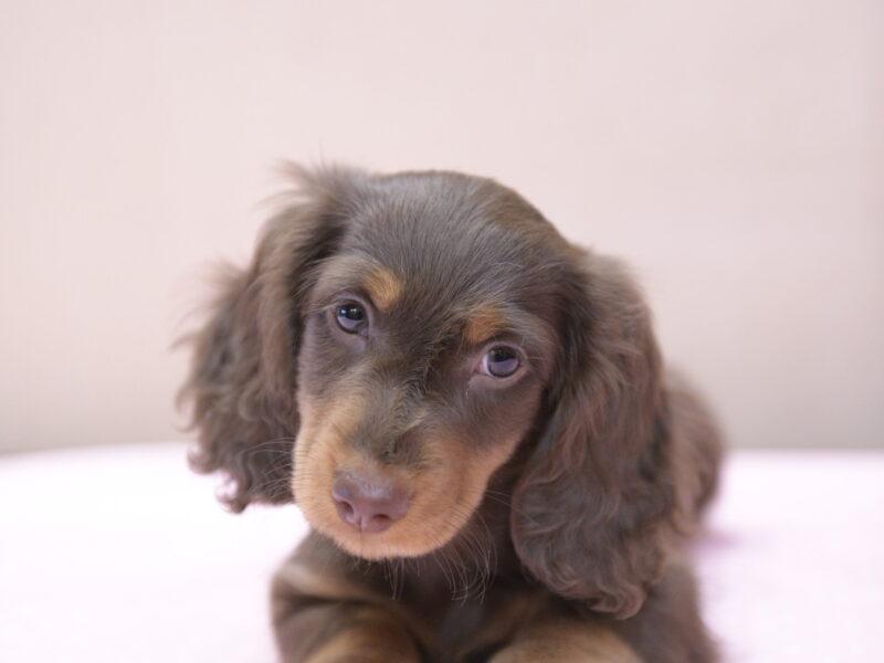 Puppy mini long-haired dachshund