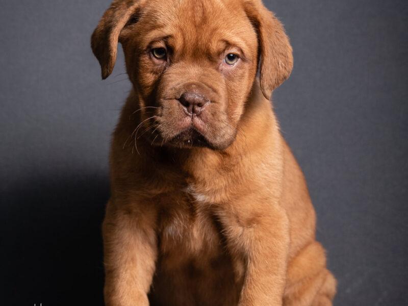 Puppy for sale DOGUE DE BORDEAUX