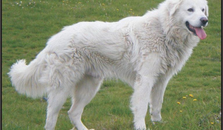 Maremma and the Abruzzes Sheepdog
