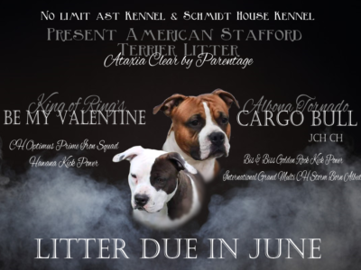 American Staffordshire Terrier Litter (Ataxia Clear)