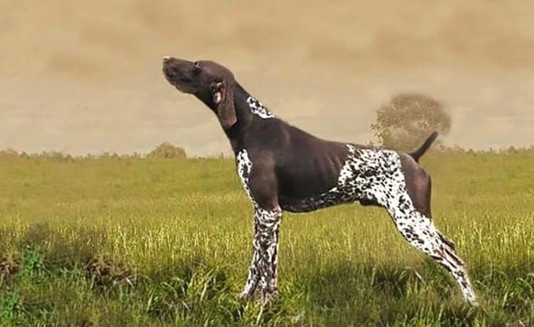 GSP hunting male GERMAN SHORTHAIRED POINTING DOG