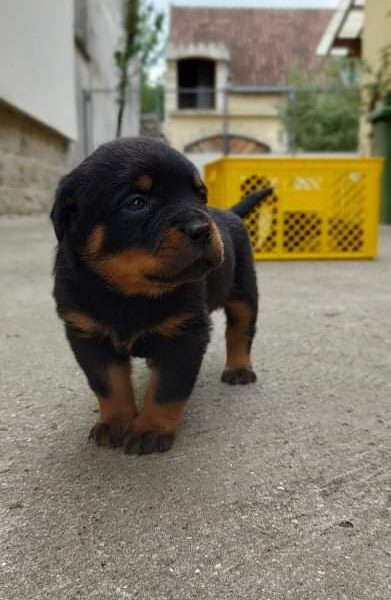 Rottweiler puppies for sale 🇷🇸