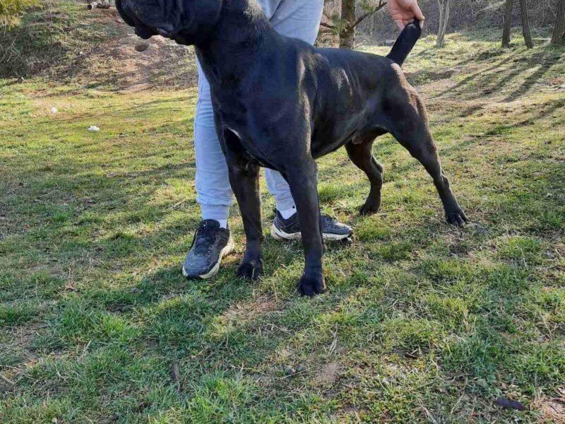 Cane corso champion bloodlines puppy