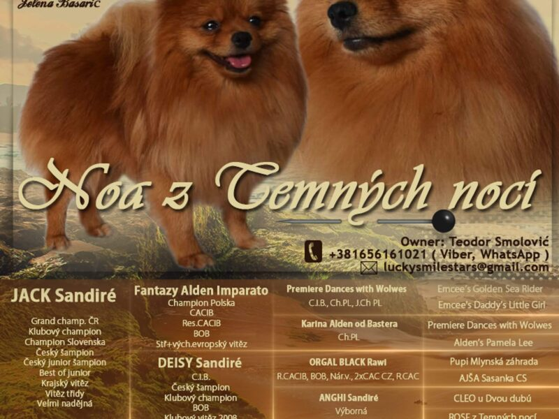 Available for stud GERMAN SPITZ