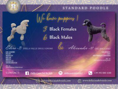 Poodle Standard