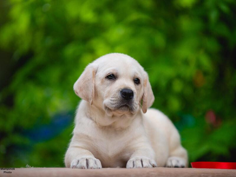 Labrador puppy female! Red ribbon!