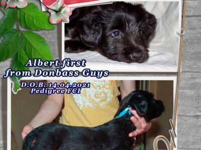 Puppies Skye terrier from titled parents with excellent pedigree