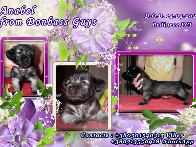Puppies from titled parents with excellent pedigree SKYE TERRIER