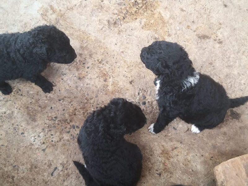 Pulin Puppies
