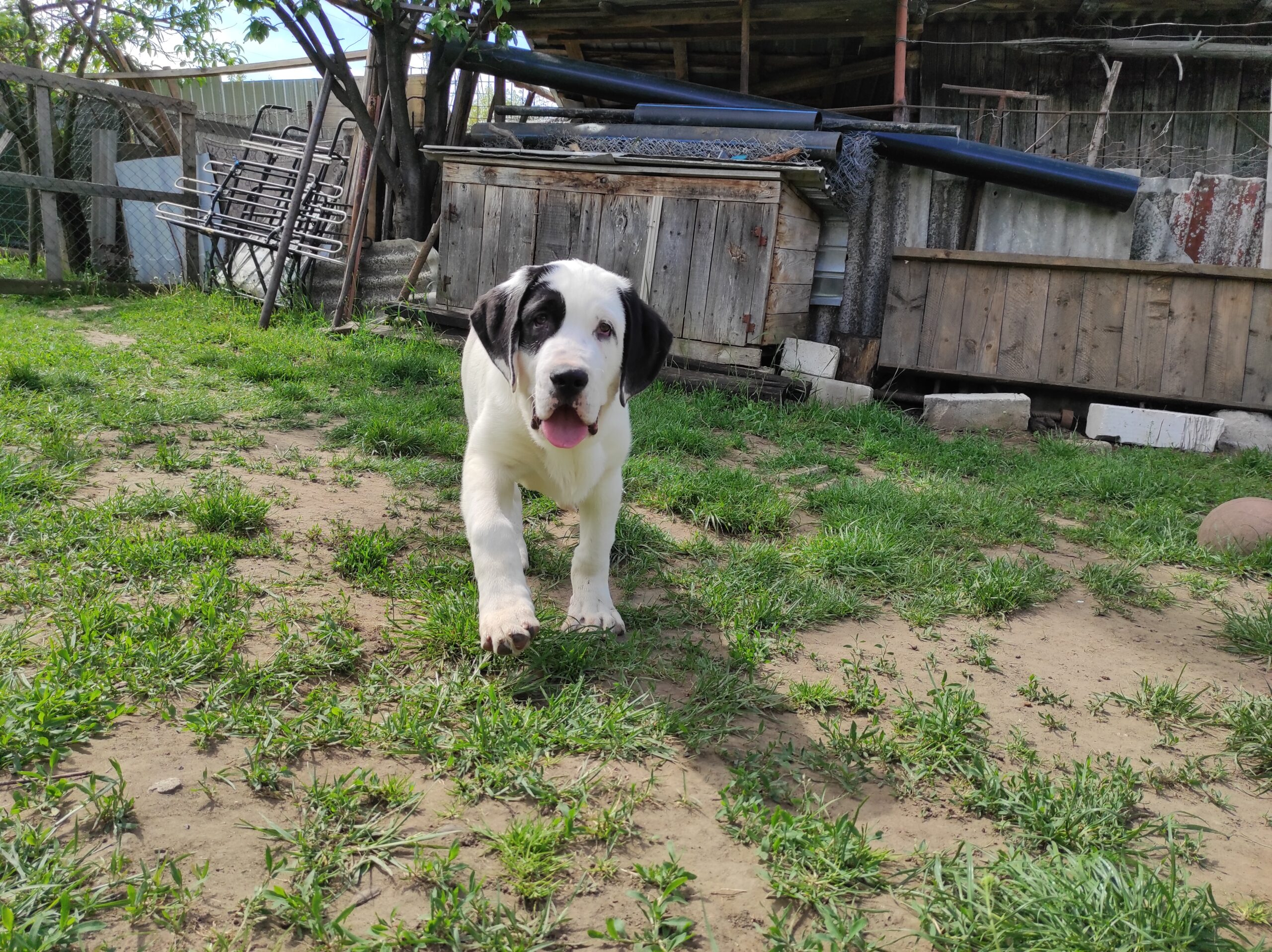 Central Asian Ovtcharka / Central Asian Shepherd Dog - Alabai puppies