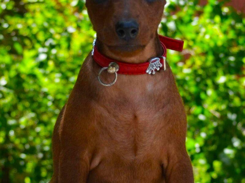 MINIATURE PINSCHER (ZWERGPINSCHER) Puppies