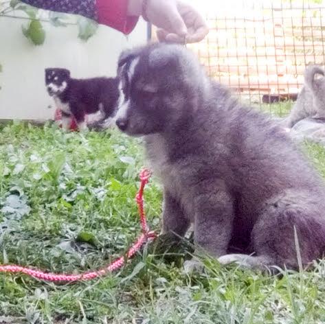 Siberian Husky puppies reservations