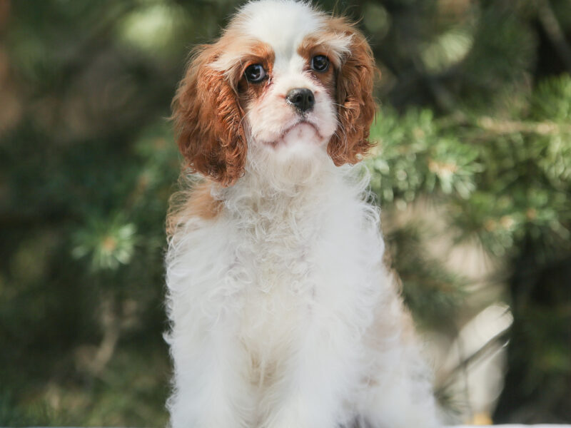 In search of the best family Cavalier King Charles Spaniel