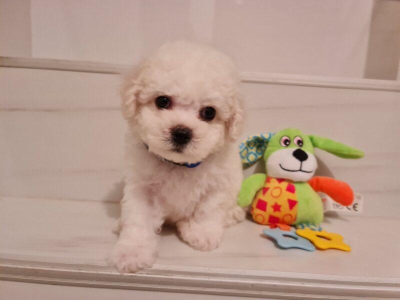 NETENI PEARLS KENNEL Bichon Frise puppies