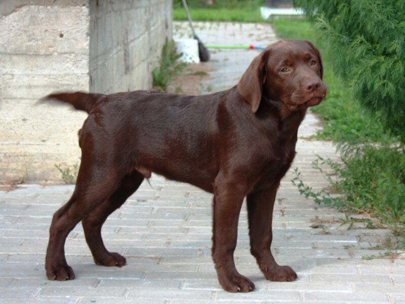 Puppies at 4 month Labrador Retriever