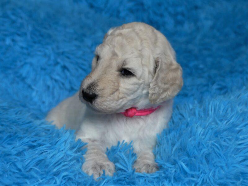 CEPELIA Ulminesco Zhemchuzhina Sibiri HEWLETT PAKKARD Standard Poodle