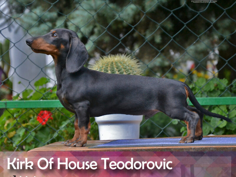 Dachshund standard smooth haired KIRK OHT male