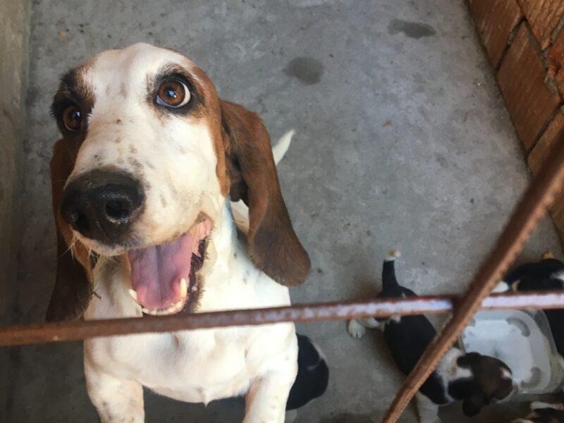 Basset Hound-Puppies for Sale