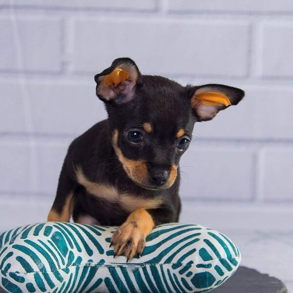 Russian Toy Puppies for Sale