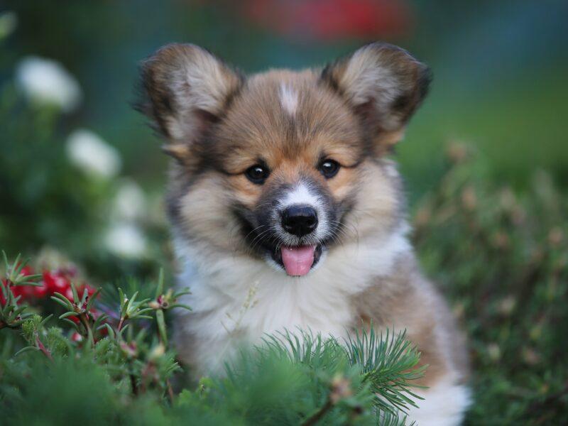 Welsh corgi pembroke puppies for sale