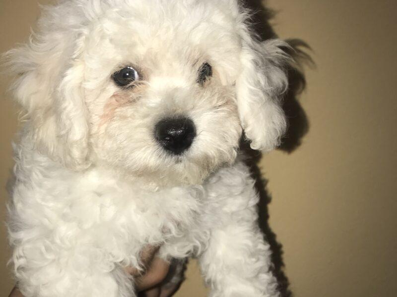Bichon frise male puppy