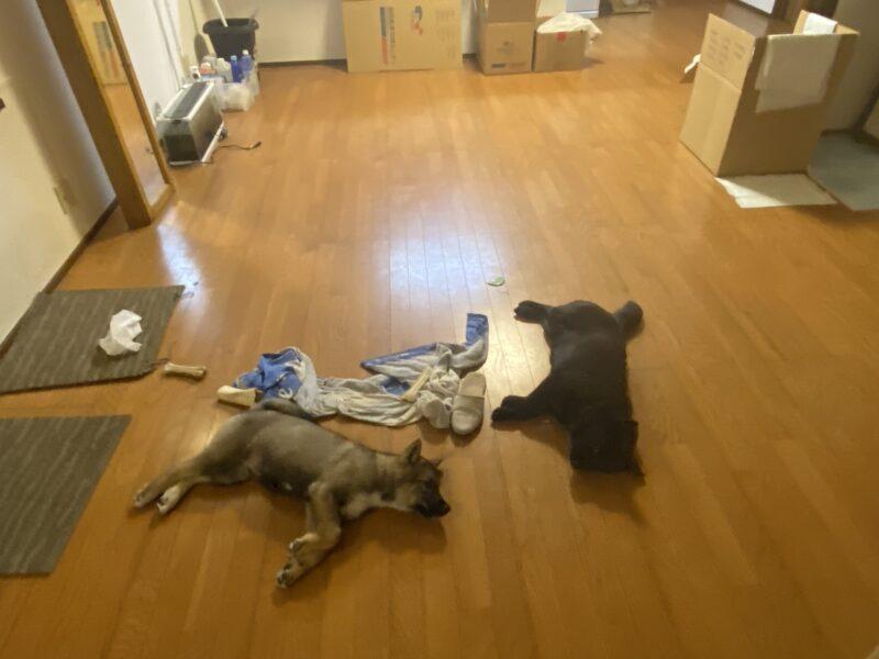 Japanese Shikoku Puppies