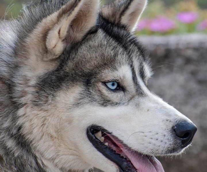 Siberian Husky male