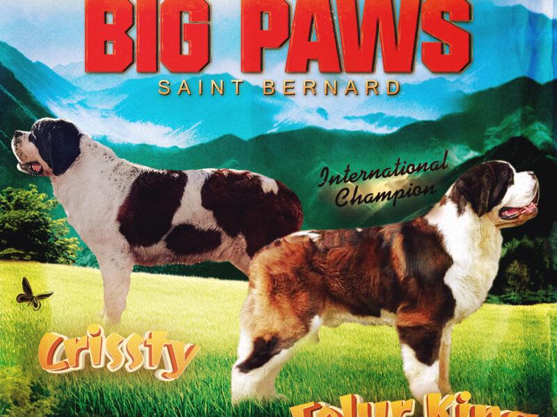 Saint Bernard PUPPİES   ST.BERNHARDSHUND - BERNHARDINER
